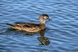 Mrs. Wood Duck