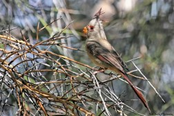 Mrs. Pyrrhuloxia or desert cardinal is a medium-sized North American song bird found in the American southwest and northern Mexico. This distinctive species with a short, stout bill and red crest and wings, and closely resembles the northern and the vermilion cardinals which are in the same genus.