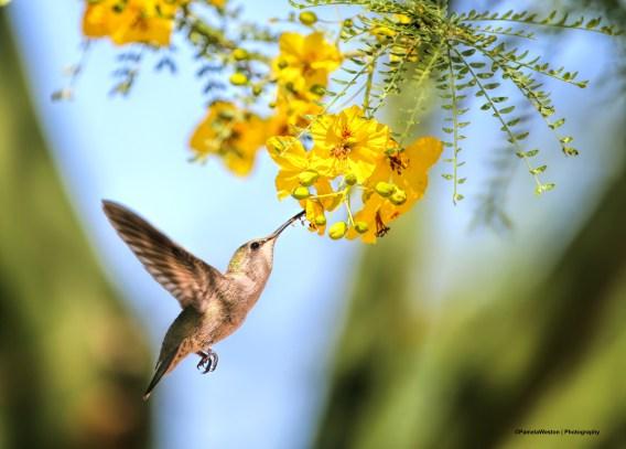 Costa's female feeding at a Palo Verde bloom