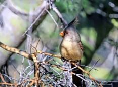Female Pyrrhuloxia