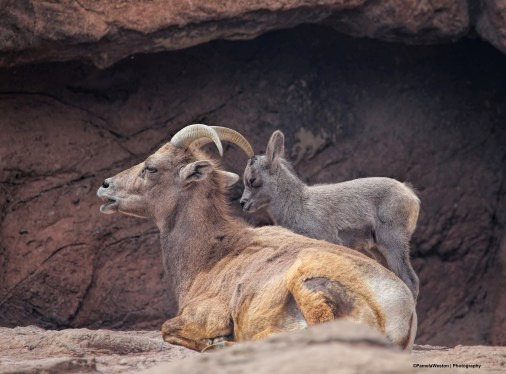 Female and lamb
