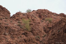 A last walk and a wave goodbye to the Bighorn Sheep in Kofa.