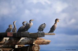 The flock of Double Crested Cormorants on the pier