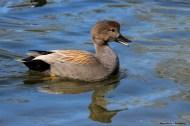 A real quaker;) Gadwell Duck