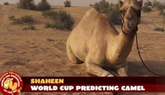 Shaheen-Camel-2014-World-Cup-prediction-animal-e1402916990889