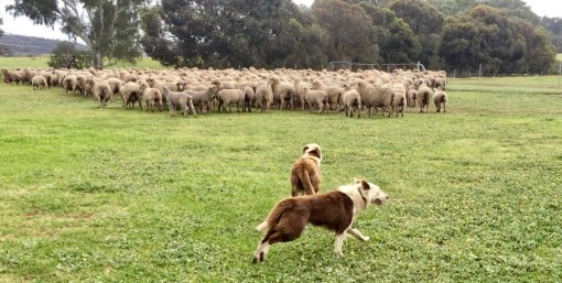Jack and Buddy at work with the sheep