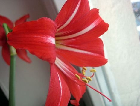 Те самые лилии. Фото автора