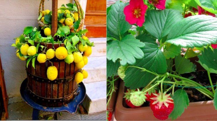 Pas De Grand Jardin Voici 4 Fruits Compatibles Avec Un