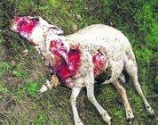 Un lobo mata 6-7 ovejas por cacería.