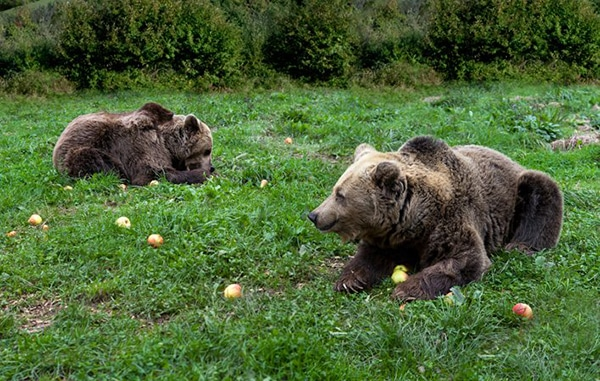 la ruta del oso asturias osos pardos