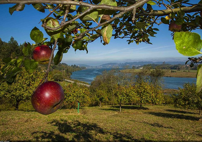 campos de manzana para elaborar sidra