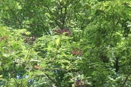 Elder (Sambucus nigra)