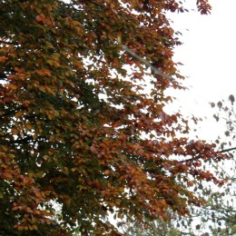 Copper Beech at the beginning of November