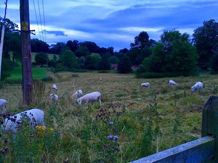 Chawton Sheep