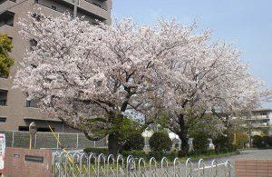 勉強会の日の桜の木