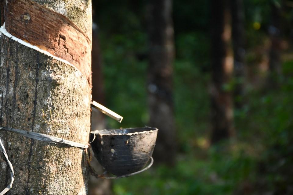 Rubber tree harvesting latex