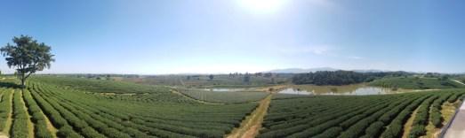 Plantação de chá