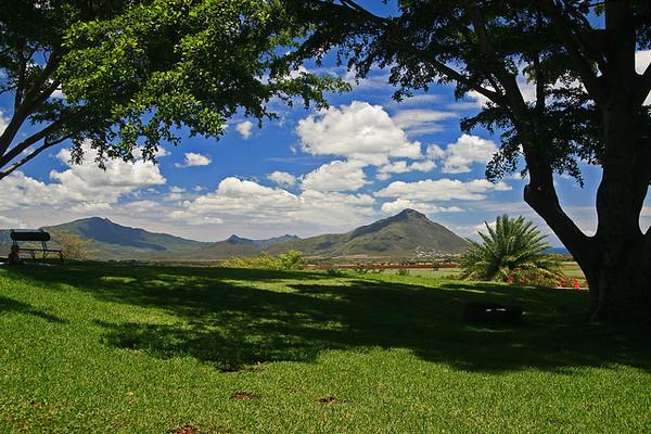 mauritius island casuarina tree