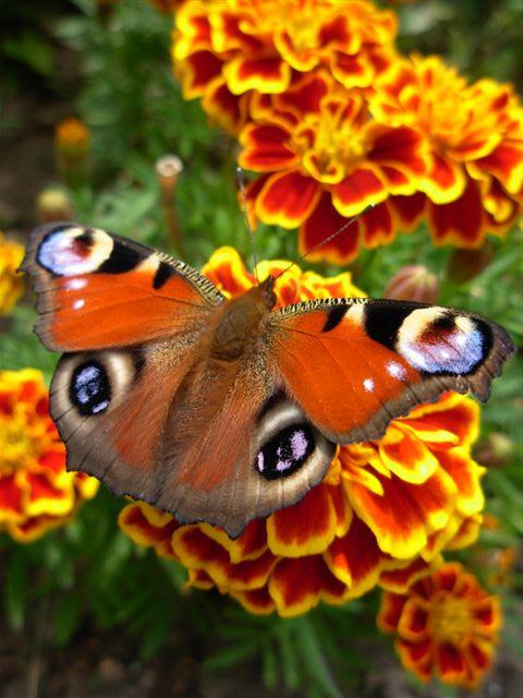 Motyle Aszera Żona Pana Boga