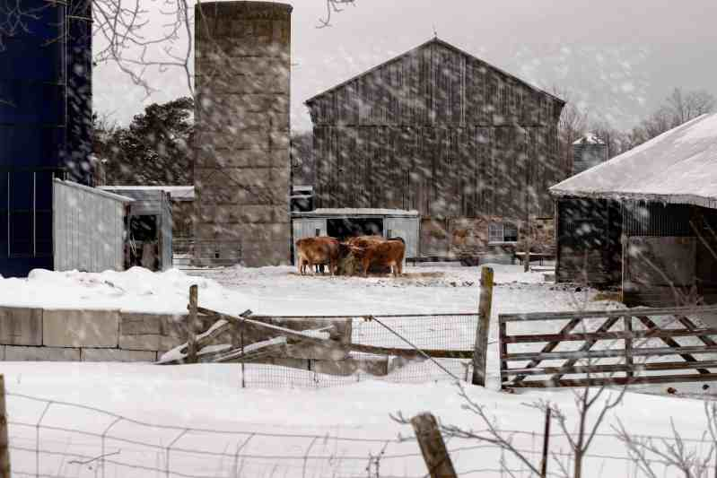 wide shot of a group of cows eating hay in front of a barn in the snow