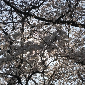 Ikegami Honmon-ji Front Stairs and Cherry Blossoms