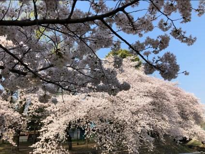 Zenpukujigawa Park Cherry Blossoms