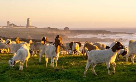 Hundreds of Goats Mow Coastal Prairie