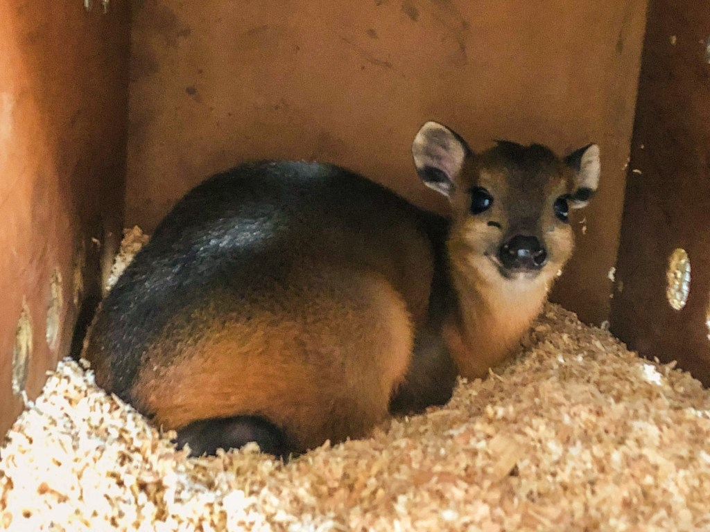 Baby Red Flanked Duiker Morning time!