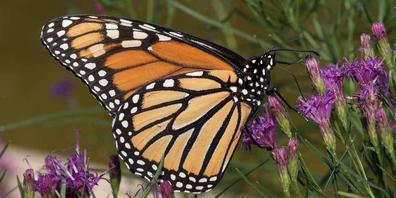 San Luis Obispo Botanical Garden: All About Monarchs: What They Need and How We Can Help