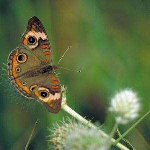 Butterflies of the Rio Grande Valley Buckeye Butterfly