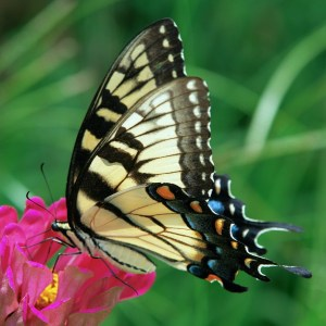 Butterflies of the Rio Grande Valley Swallowtail Butterfly