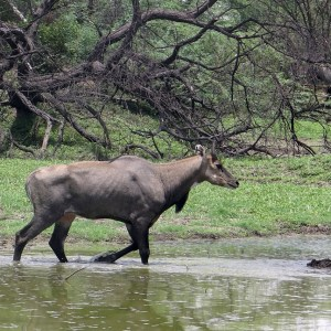 Hunting in South Texas. Hunting Nilgai in South Texas. Nilgai Lottery info. Nilgai Lotteries.