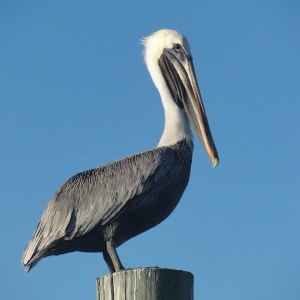 South Texas Bird Watching. Pelican in Arroyo City at Atascosa Outlook South Texas Bed and Breakfast.