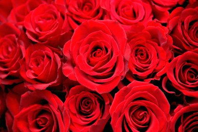 closeup red roses