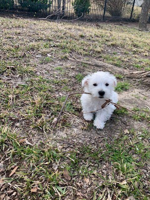 Meet Jean Pierre the adorable Westie