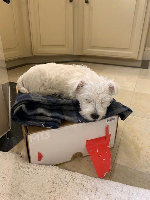 Westie puppy Jean Pierre