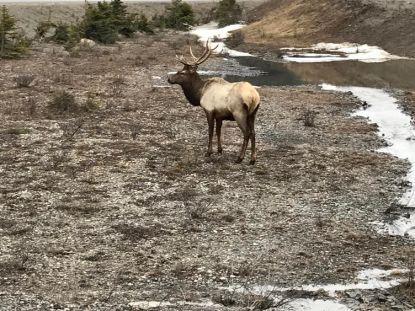 Elk 6