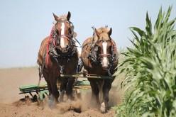 belgian-horses-1214507_640