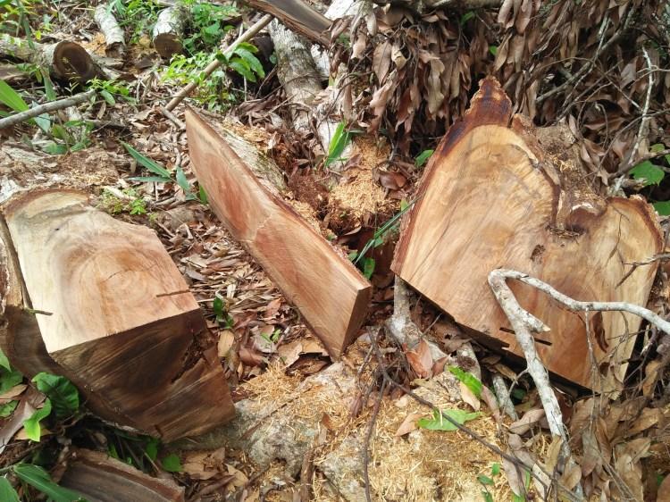 """Bất chấp những quyết tâm và mệnh lệnh của Chính phủ, tại nhiều địa phương trên cả nước, tình trạng """"phá sơn lâm,"""" làm suy giảm diện tích rừng tự nhiên vẫn diễn biến hết sức phức tạp. (Ảnh: Vietnam+)"""