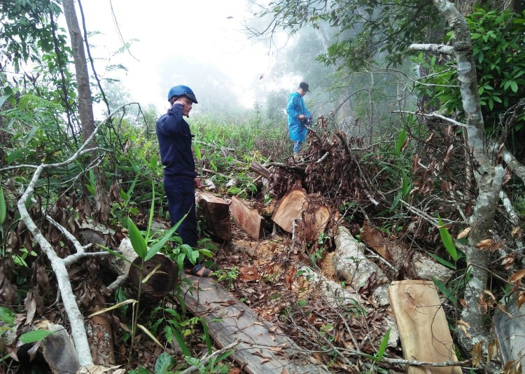 Hiện trường sót lại dưới một gốc cây cổ thụ vừa bị lâm tặc đốn hạ tại lâm phần của Công ty Trách nhiệm hữu hạn Một thành viên Lâm nghiệp Đắk Tô. (Ảnh: Vietnam+)