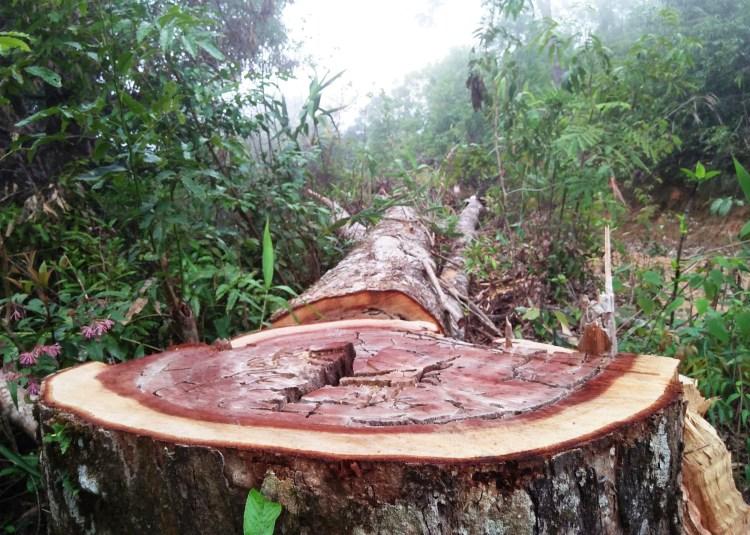 Một gốc cây cổ thụ bị đốn hạ từ lâu nhưng lâm tặc mới tiến hành cưa xẻ để lấy gỗ, vết cưa còn rất mới. (Ảnh: Vietnam+)