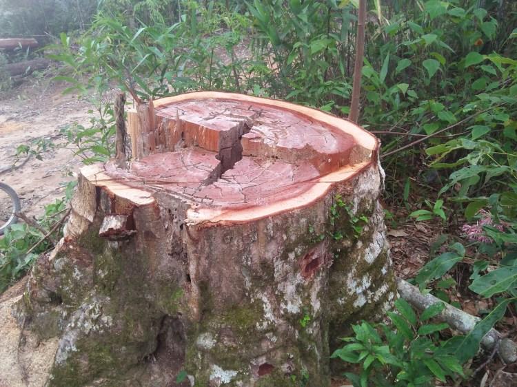 Một cây thông nàng bị chặt hạ còn lại phần gốc tại lâm phần của Công ty Trách nhiệm hữu hạn Một thành viên Lâm nghiệp Đắk Tô, tỉnh Kon Tum. (Ảnh: Vietnam+)