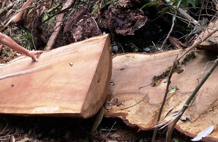 Lâm tặc cưa xẻ những khúc gỗ lớn thành từng tấm để dễ dàng vận chuyển, tẩu tán ra ngoài. (Ảnh: Vietnam+)