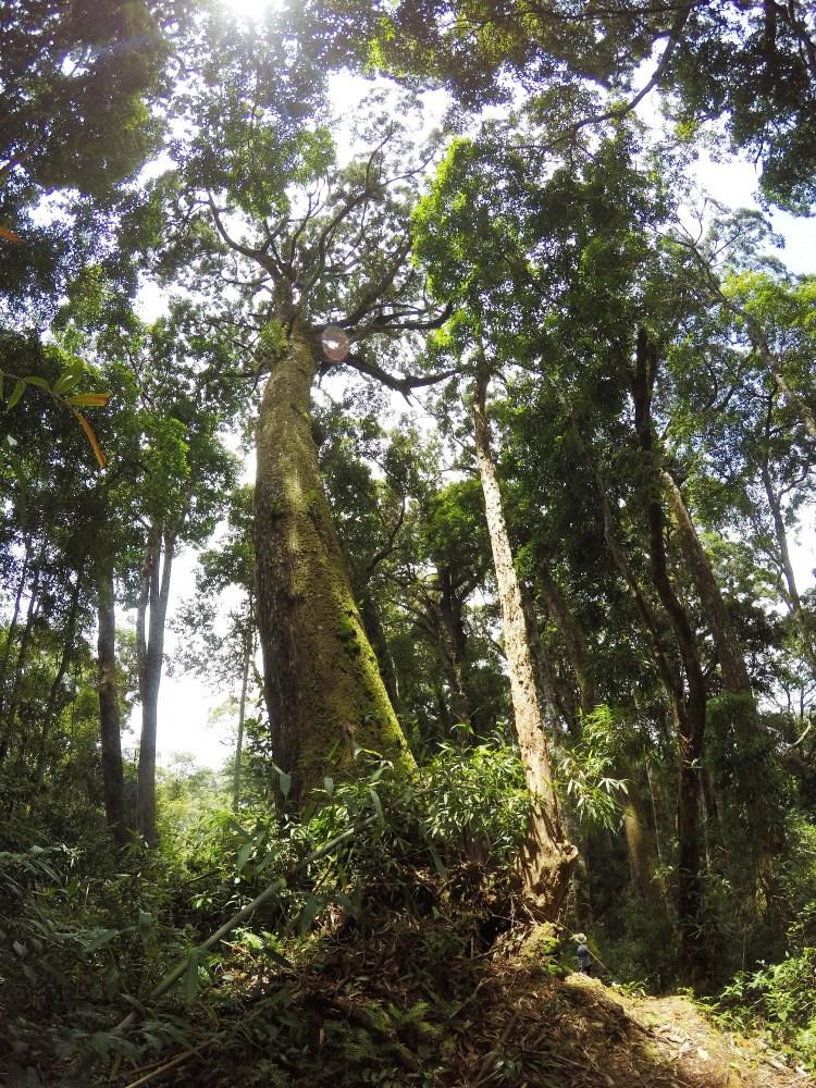 Trong khi rừng tự nhiên đang bị tàn phá tan hoang khắp chốn, thì tại huyện Tây Giang, tỉnh Quảng Nam, những khu rừng cây pơmu cổ thụ vẫn được gìn giữ vẹn nguyên. (Ảnh: Vietnam+)