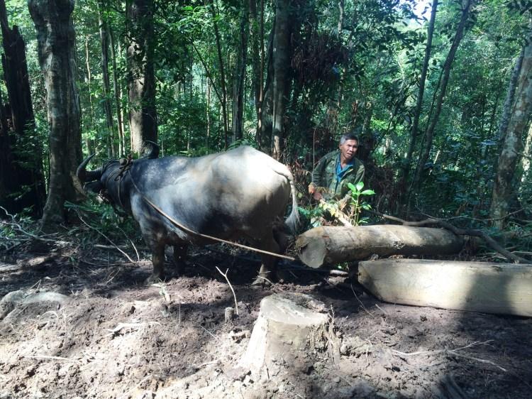 Một đối tượng dùng trâu kéo gỗ ra ngoài, tại lâm phần của Công ty Trách nhiệm hữu hạn Một thành viên Lâm nghiệp Đắk Tô, tỉnh Kon Tum. (Ảnh: Chủ rừng cung cấp)