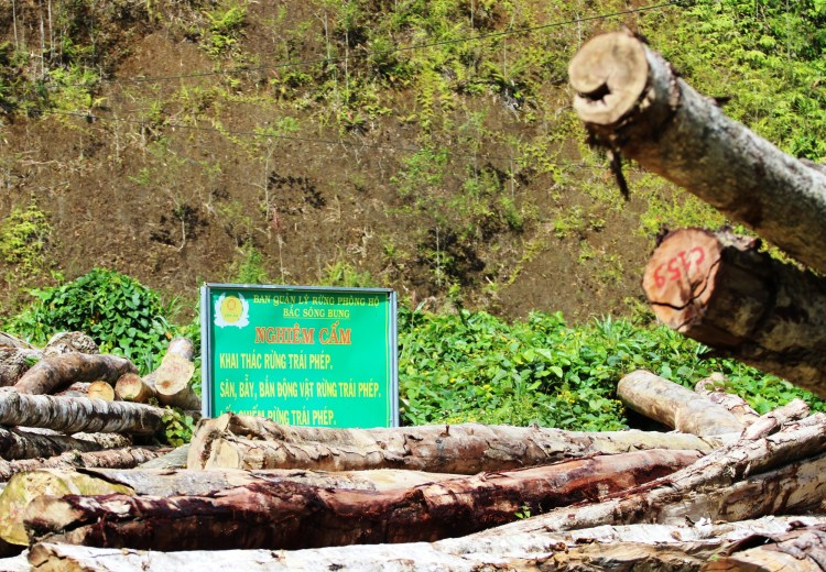 Một bãi tập kết gỗ nằm ngổn ngang ngay dưới tấm biển nghiêm cấm khai thác rừng trái phép ở tỉnh Quảng Nam. (Ảnh: Vietnam+)