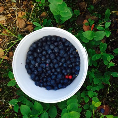 慢慢填滿一桶的藍莓跟紅醋栗