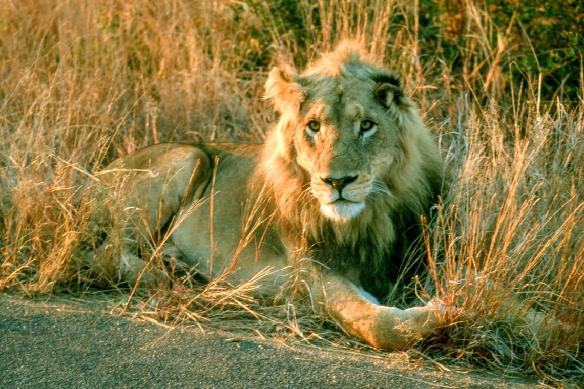 Kruger_lion_lazy
