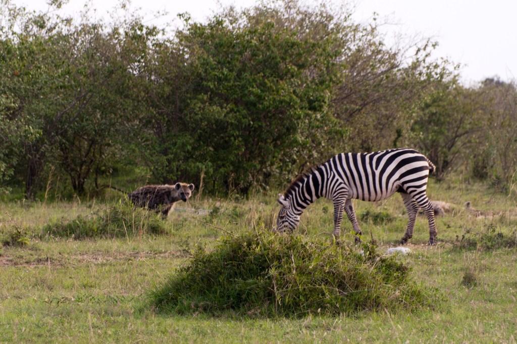 Safari w Kenii, park Masai Mara