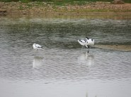 Purple Swamphen at Minsmere (1)